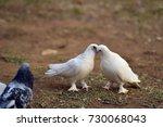 white pigeon | Shutterstock . vector #730068043