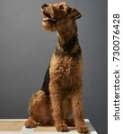 Small photo of Airedale portrait