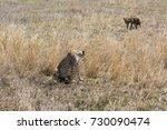 cheetah in serengeti ... | Shutterstock . vector #730090474