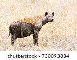 hyena  african wild life  | Shutterstock . vector #730093834
