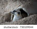 Posing Meerkat In The Nest...