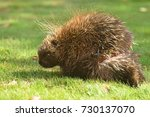 porcupine injury close up ... | Shutterstock . vector #730137070