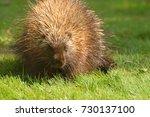 porcupine close up  canada  | Shutterstock . vector #730137100