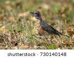 juvenile american robin in... | Shutterstock . vector #730140148