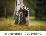 badger | Shutterstock . vector #730195840