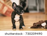 Stock photo playful black and white french bulldog puppy the first week at her new home weeks old 730209490