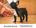 Stock photo playful black and white french bulldog puppy the first week at her new home weeks old 730209514
