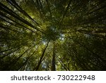 crowns of the bamboo trees... | Shutterstock . vector #730222948
