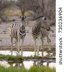 A Pair Of Zebras Drinking At A...