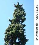 silver  blue spruce pine  fir... | Shutterstock . vector #730241158
