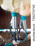 Small photo of Cows utter and pipeline while milking operation, Franche Comte, France.