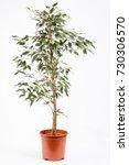 indoor plant ficus benjamina | Shutterstock . vector #730306570