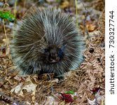 prickly porcupine in the wild | Shutterstock . vector #730327744