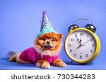 Stock photo a nice pomeranian puppy dressed in a winter way lying at the clock as a symbol of the new year 730344283