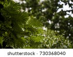 sweet scented osmanthus  | Shutterstock . vector #730368040