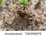 Small photo of Macro photo of an Arctosa wolf spider camouflaged on sand