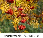 Ashberry In Autumn Colors Of...