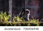 a juvenile gray langur hanging | Shutterstock . vector #730456948