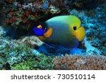Blueface Angelfish  Pomacanthu...