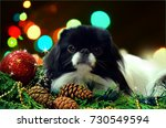 little dog  japanese chin on... | Shutterstock . vector #730549594