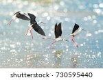 Black winged stilt   himantopus ...