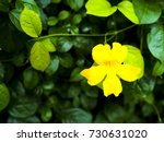 cat's claw flower. | Shutterstock . vector #730631020