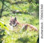 eurasian lynx  lynx lynx  lying ...   Shutterstock . vector #730631560