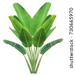banana leaf on isolate and... | Shutterstock . vector #730665970