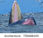 bryde's whale  eden's whale ... | Shutterstock . vector #730688104