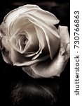 toned black and white rose on... | Shutterstock . vector #730766863