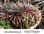 different kinds of dyckia as... | Shutterstock . vector #730775839