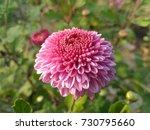 Little Pompom Pink Flower Amon...