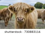 Young Highland Cow In A Herd
