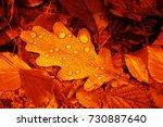 Fallen Oak Leaves With Dew....