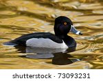 Ring Necked Duck Drake On...
