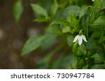 the flowers of chili before... | Shutterstock . vector #730947784