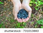wild blackberry in the hands.... | Shutterstock . vector #731013883