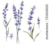 wildflower lavander flower in a ... | Shutterstock . vector #731033020