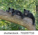 Two Black Bear Cubs Resting In...