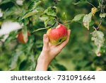 a woman hand picking a red ripe ... | Shutterstock . vector #731091664