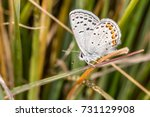 Small photo of Acmon blue butterfly