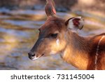 Female East African Sitatunga...