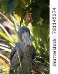 african shoebill stork... | Shutterstock . vector #731145274