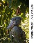 african shoebill stork... | Shutterstock . vector #731145328