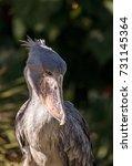 african shoebill stork... | Shutterstock . vector #731145364