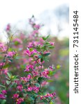 pink tree blossoms  | Shutterstock . vector #731145484