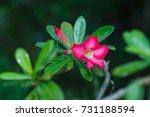 Small photo of Adenium Pink Adenium Pink Background blur bokeh