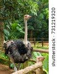 African Ostrich Stands In A...