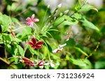 quisqualis indica   combretum... | Shutterstock . vector #731236924