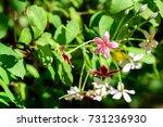 quisqualis indica   combretum... | Shutterstock . vector #731236930